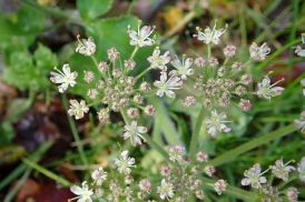 191201 umbellifer sp