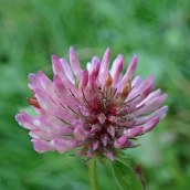 191208 red clover
