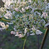 191208 umbellifer sp