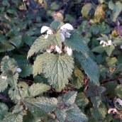 191208 white deadnettle
