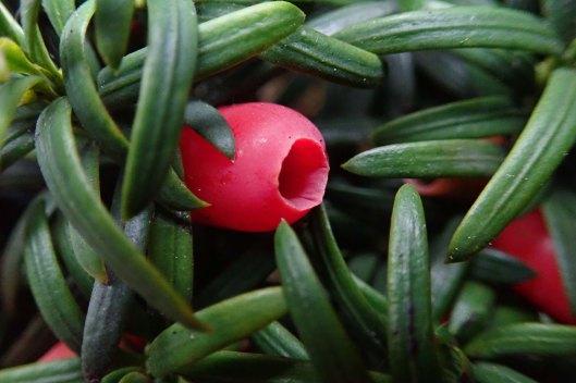 191211 yew berries (2)