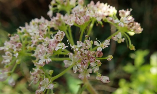191215 Hemlock water dropwort