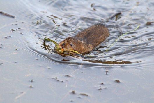 191216 water vole (4)