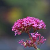 191222 red valerian