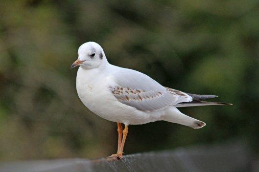 191223 black-headed gull