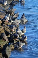 191225 pigeons (1)