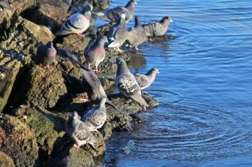 191225 pigeons (2)