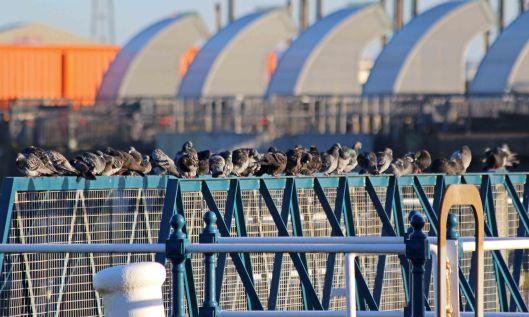 191225 pigeons (3)