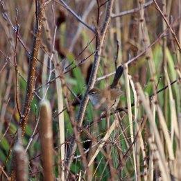 191226 7 cettis warbler