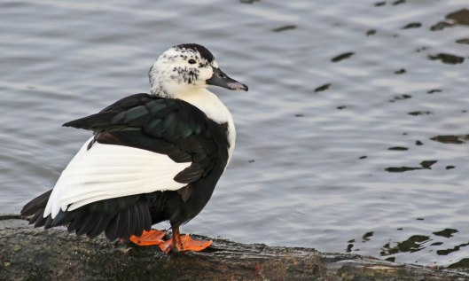 191228 hybrid duck (1)