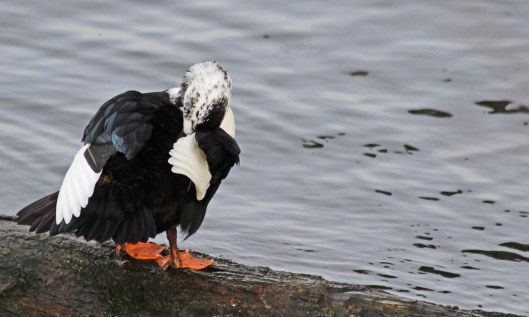 191228 hybrid duck (3)