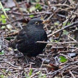 191231 1 blackbird