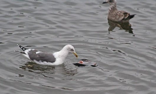 200101 2 lesser black-backed gull