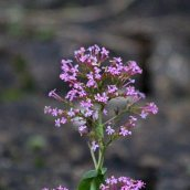 200102 10 red valerian