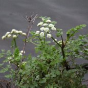 200102 11 hemlock water dropwort