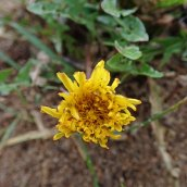 200102 12 dandelion sp