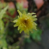 200102 19 a hawkweed perhaps