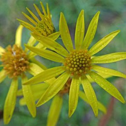 200102 2 common ragwort