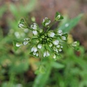 200102 27 shepherds purse
