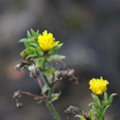 200102 9 bristly oxtongue