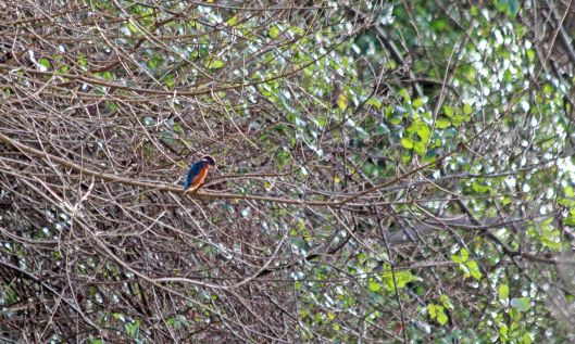200103 3 kingfisher