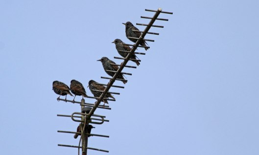 200106 starlings