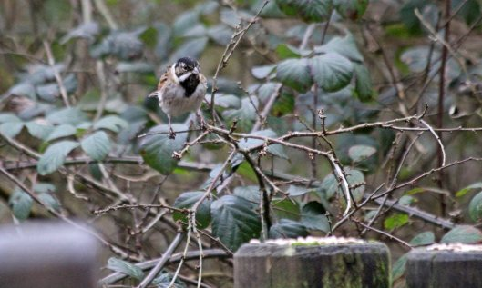 200107 reed bunting (1)