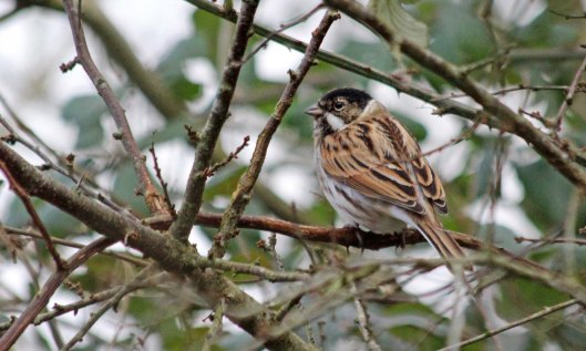 200107 reed bunting (2)