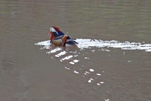 200108 mandarin duck (1)