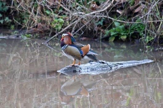 200108 mandarin duck (2)