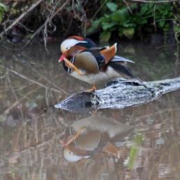200108 mandarin duck (4)