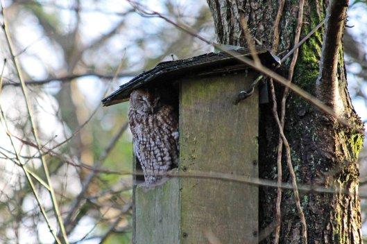 200111 tawny owl