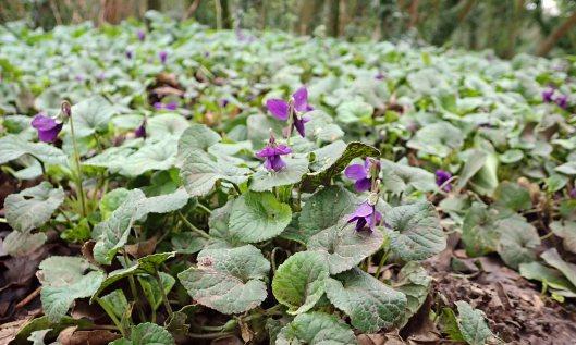 200113 sweet violets (1)