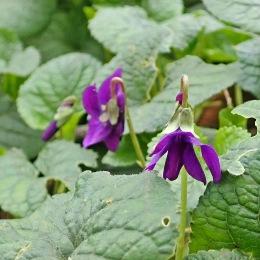 200113 sweet violets (3)
