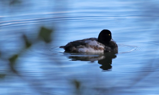 200115 scaup (2)