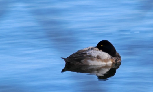 200115 scaup (3)