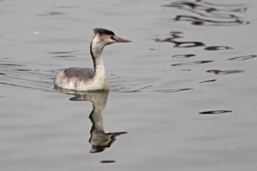 200125 great crested grebe (2)