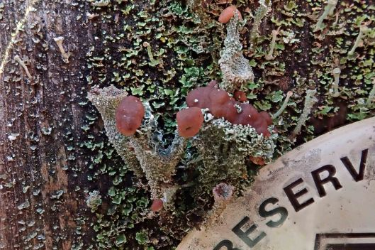 200129 cladonia lichen (1)