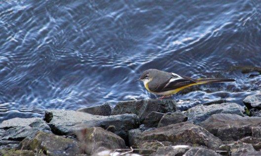 200201 grey wagtail (3)