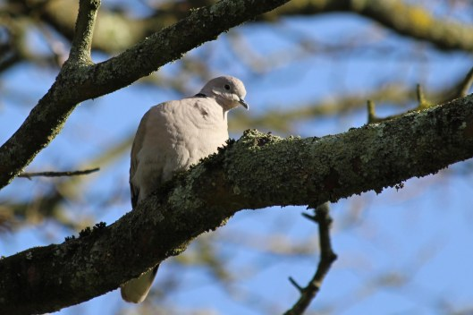 200205 collared dove (2)