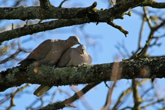 200205 collared dove (3)