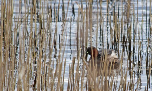 200207 little grebe