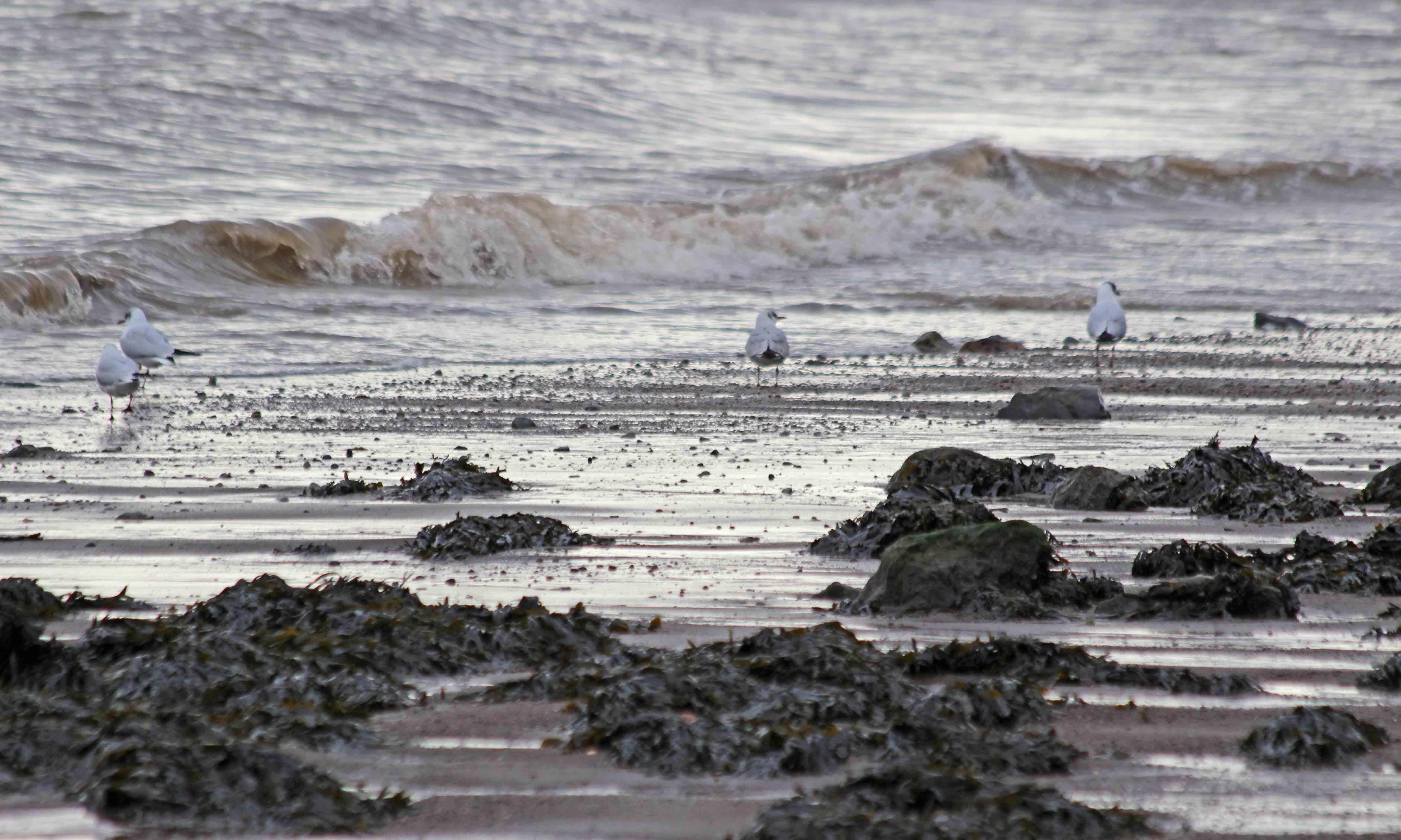 200210 black-headed gulls (1)