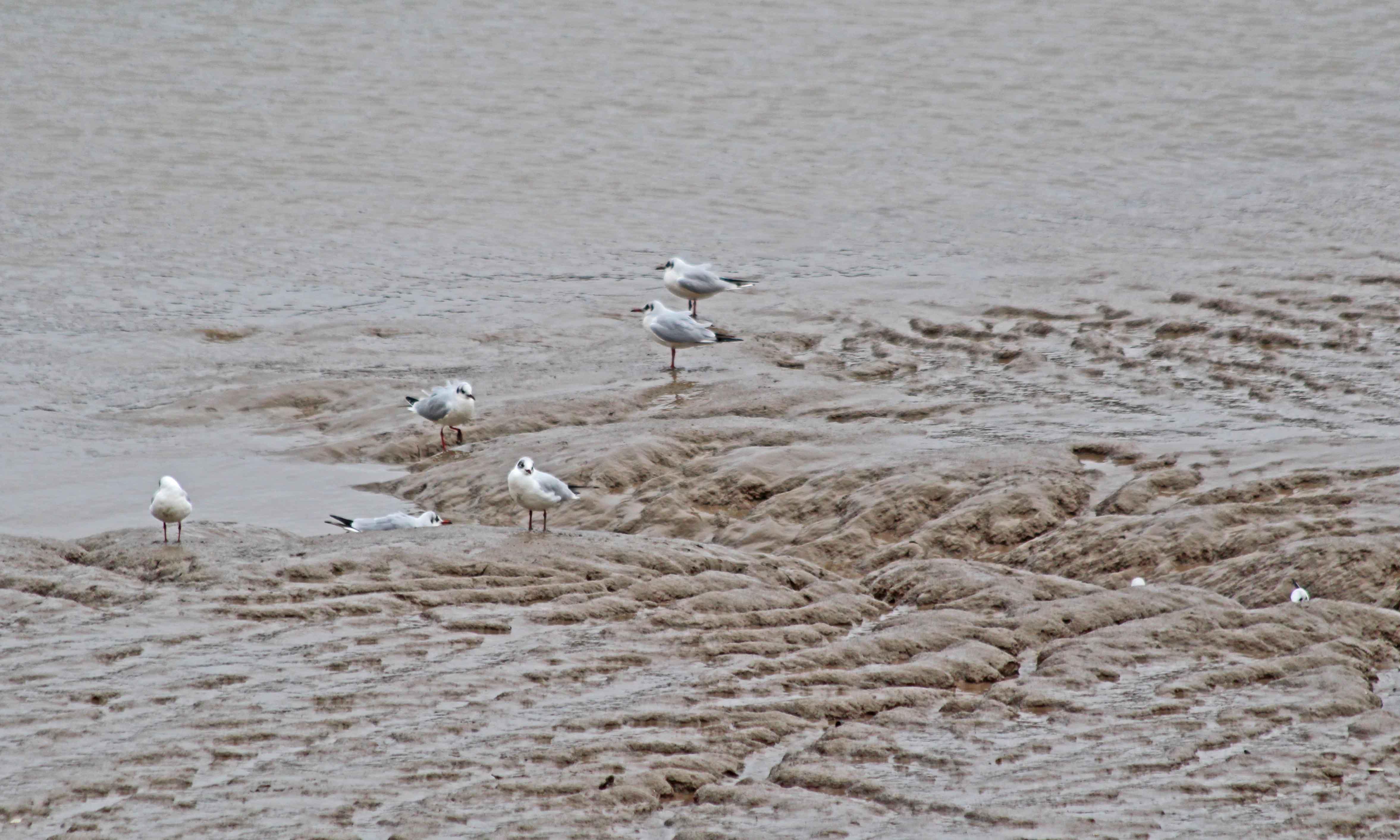 200210 black-headed gulls (2)