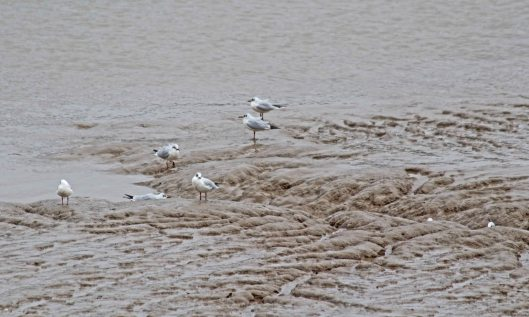 200210 black-headed gulls (2)