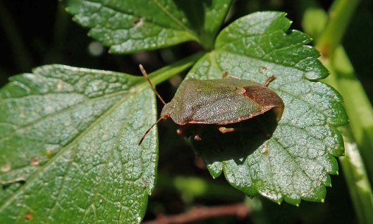 200215 common green shieldbug (1)
