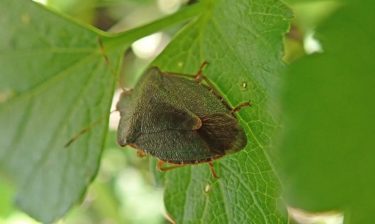 200215 common green shieldbug (2)