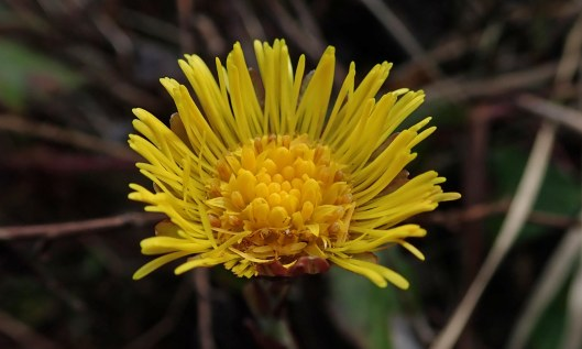 200217 coltsfoot (1)