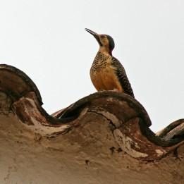 200219 Andean Flicker (1)