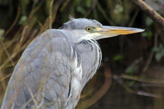 200221 grey heron